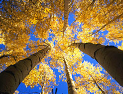 ASPEN NJ - picture of an ASPEN Tree